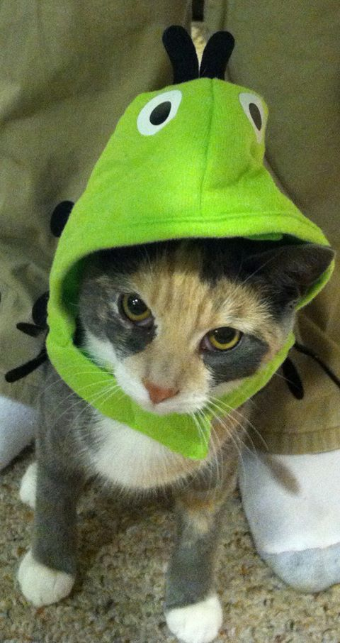 My cat dressed up as a peapod on halloween